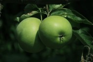 挂在树上的青苹果图片(12张)