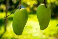 树上的芒果图片(7张)