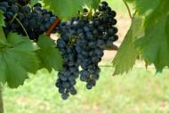 藤蔓上成熟的葡萄图片(9张)