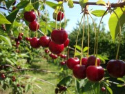 香甜的樱桃图片(13张)