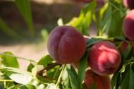 美味的桃子图片(14张)