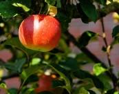 树上的红苹果图片(10张)
