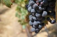 一串串成熟的葡萄图片(10张)