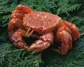 鲜味十足的毛蟹图片(15张)