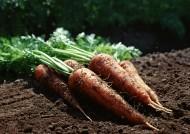 收获胡萝卜图片(7张)