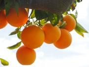 树枝上的橘子图片(16张)