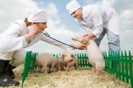 抱着猪的兽医图片(11张)
