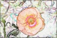 素描花卉图片(9张)