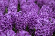 紫色风信子图片(8张)