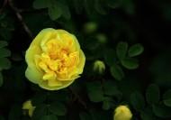 黄色刺玫图片(9张)