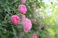 盛开的粉色蔷薇图片(9张)