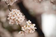 美丽的樱花图片(11张)