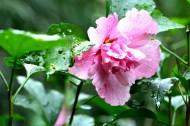 雨后木芙蓉图片(5张)
