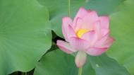 粉红的荷花图片(13张)