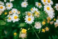 漂亮的雏菊花丛图片(18张)