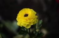 花毛茛图片(15张)