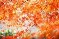 秋季漂亮的枫叶图片(9张)