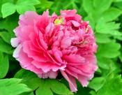 富贵风流牡丹花图片(22张)