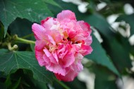 粉色木芙蓉图片  (15张)
