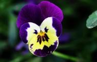 三色堇花图片(10张)