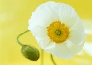 罂粟花图片(13张)