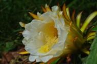 火龙果花和未成熟的火龙果图片(8张)