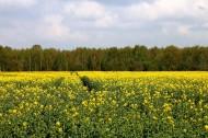 一片金黄色的油菜花田图片(12张)