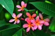 粉色鸡蛋花图片(7张)