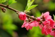 红色桃花图片(5张)