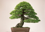 盆景树盆栽图片(9张)