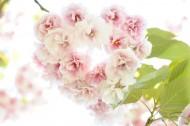 嫩嫩的粉色樱花图片(15张)
