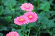非洲菊花卉图片(9张)