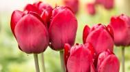 盛开的郁金香图片(20张)