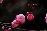 白色和粉色樱花图片(11张)
