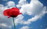 靓丽的罂粟花图片(22张)