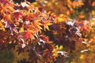 枯黄的枫叶图片(14张)
