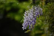 紫藤图片(13张)