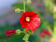 艳丽的蜀葵图片(12张)