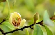 淡黄色含笑花图片(18张)