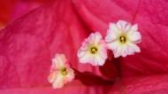 三角梅花的花蕊图片(6张)