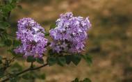 紫色的丁香花图片(8张)