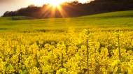 金色油菜花图片(10张)