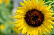 美貌的向日葵图片(10张)