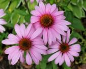 各种颜色的雏菊图片(18张)