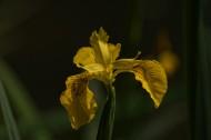 黄色鸢尾图片(16张)