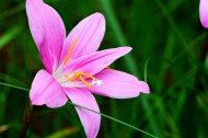 红花葱兰图片(6张)