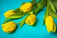 黄色郁金香图片(13张)