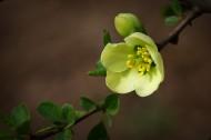 绿色贴梗海棠图片(12张)