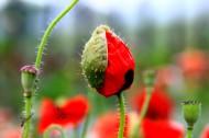 罂粟花图片(6张)