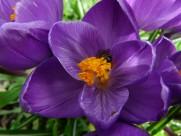 紫色的藏红花图片(15张)